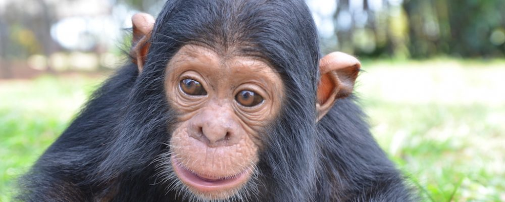 Have a Close-up Chimpanzee Encounter and Make a Difference