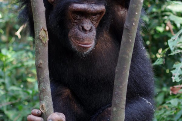 chimp Afrika