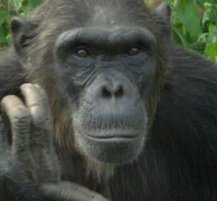 Chimp Asega at Ngamba Island