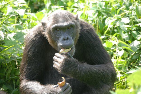 Chimp Bahati