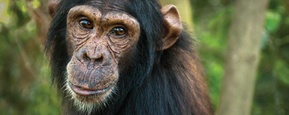 chimp Baron