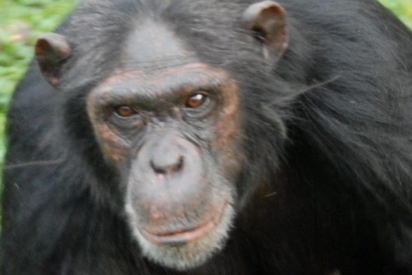chimp becky