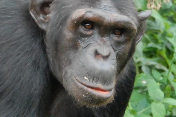 Chimp Billi at Ngamba Island sanctuary