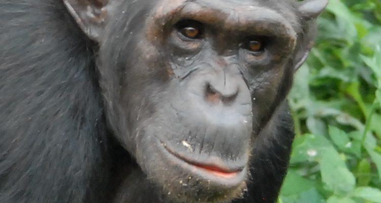 Chimp Billi at Ngamba Island sanctuary