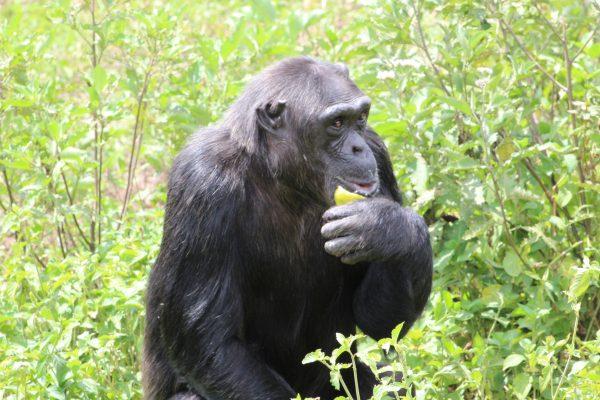 Chimp Katie