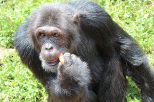 chimp eddy