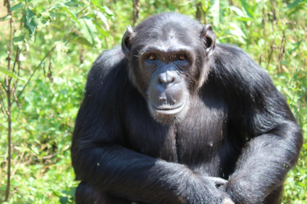 Chimp Ikuru