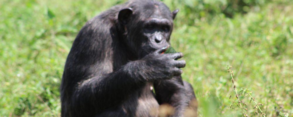 chimp Natash
