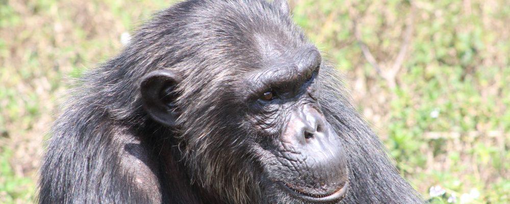 chimp bahati at ngamba
