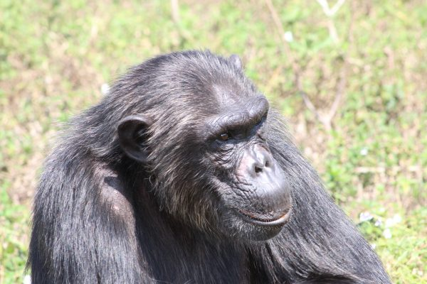 chimp bahati at ngamba