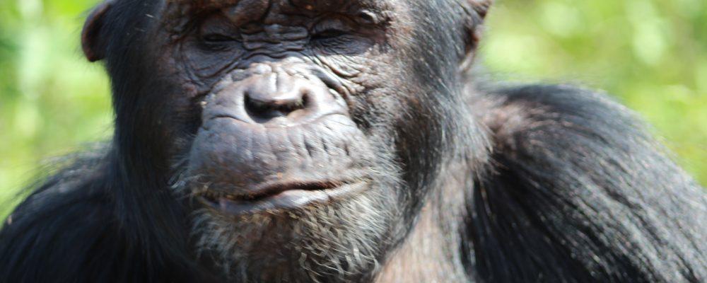 chimp kisembo