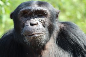 chimp kisembo