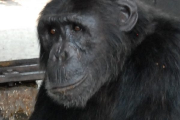 Chimp Mawa