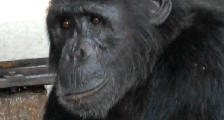 Chimp Mawa