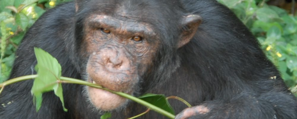 Chimp Okech