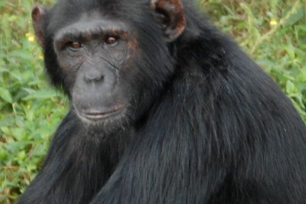 chimp pasa