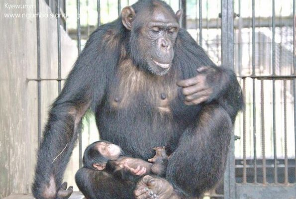 Baby girl chimp at Ngamba