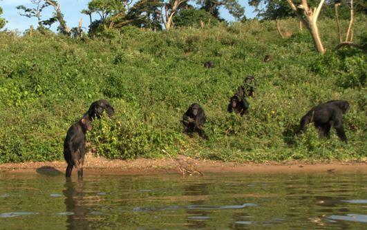 medina chimp