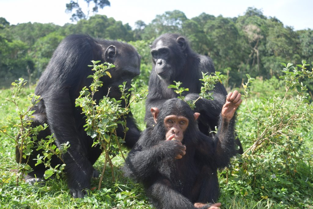 eazy with other chimps