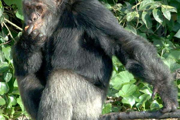 Tumbo grey haired chimpanzee