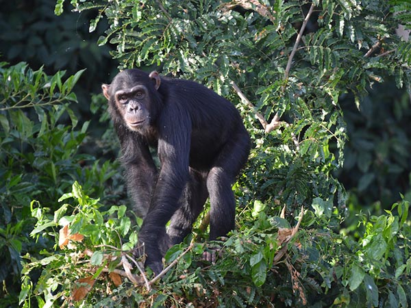 chimps island activities