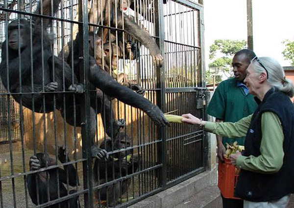 Jane Goodall feeds a chimp