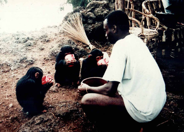 Morris cares for first chimps, 1998
