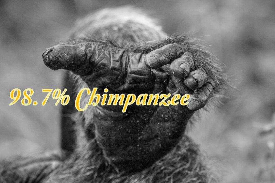 98.7-chimp-1