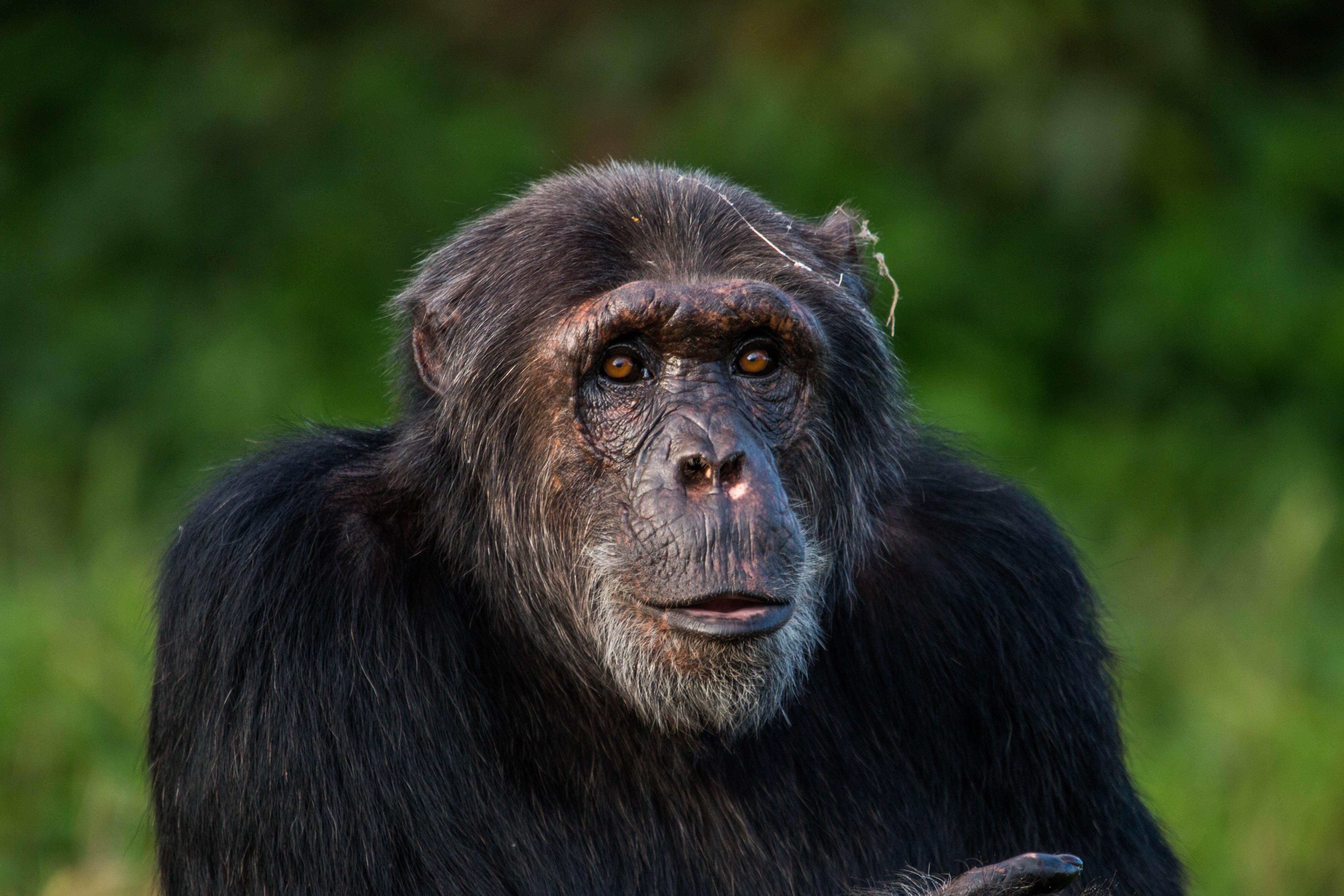 chimp eddy at Ngamba