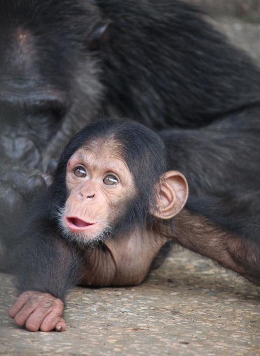 Natash's baby at Ngamba Island Uganda