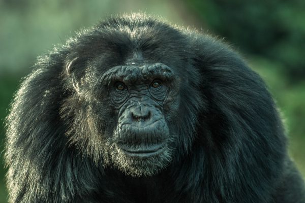 Ngamba chimps new leader