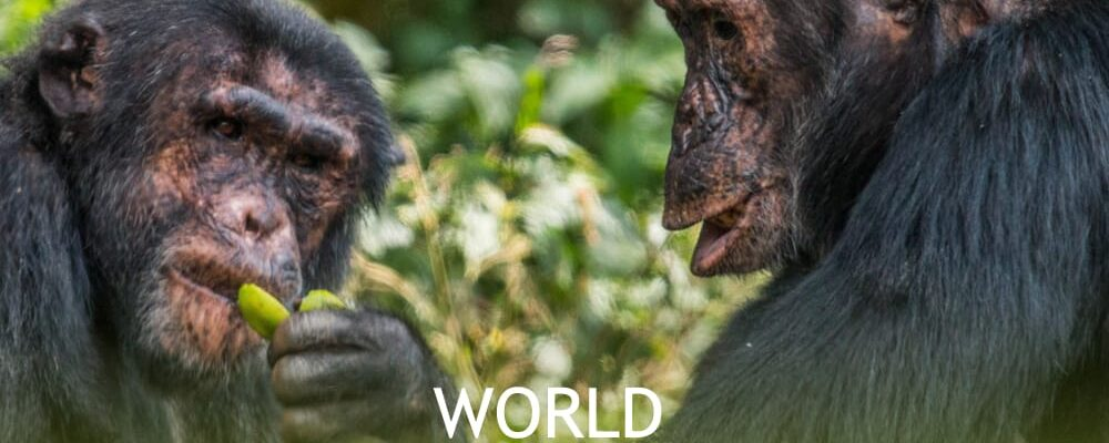 world chimpanzee day 2020