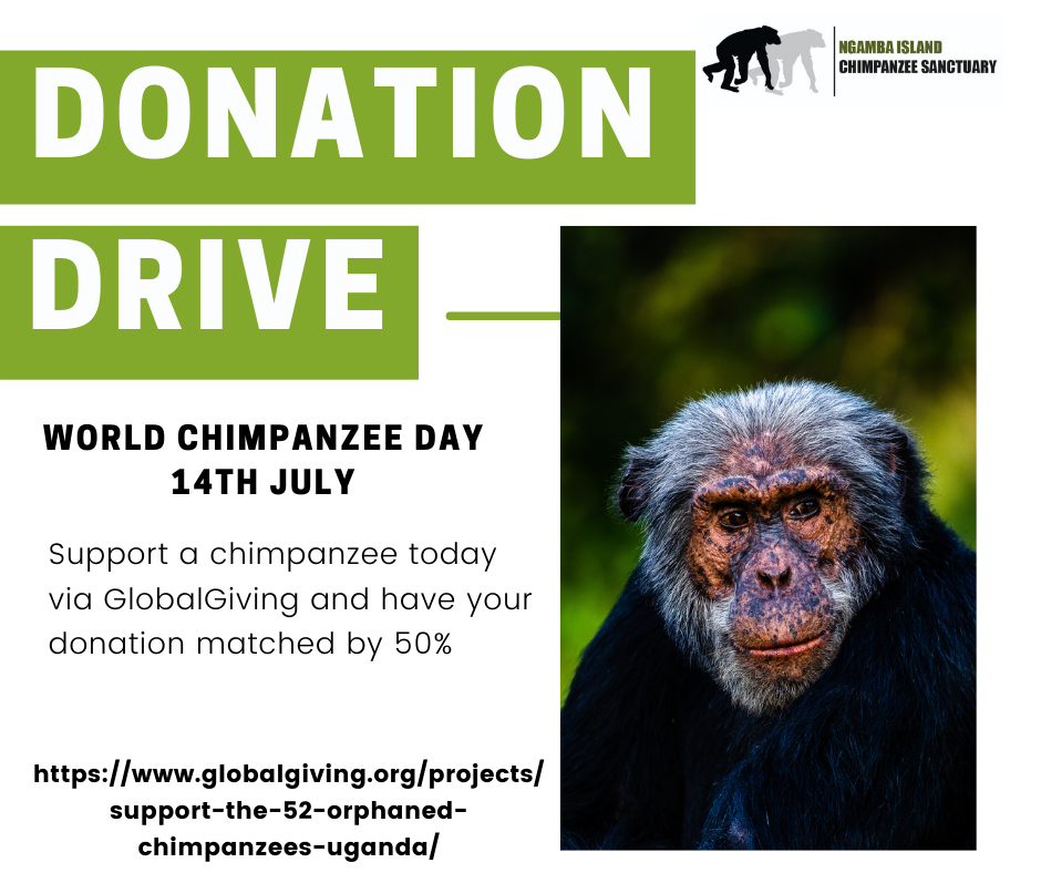 Support a chimp on world chimpanzee day
