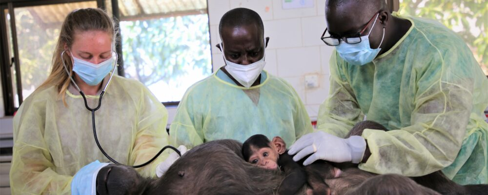 Ngamba chimpanzee health check